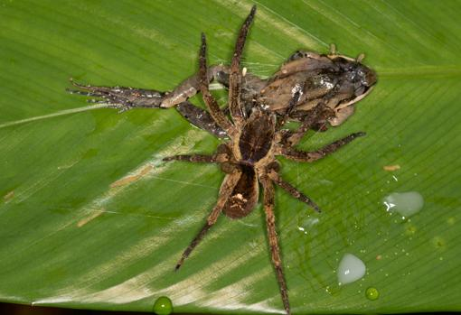 Una araña errante (Ctenidae) cazando una rana (Leptodactylus didymus)