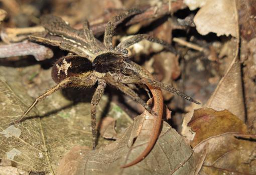 Una araña errante (Ctenidae) cazando un lagarto Cercosaura eigenmanni