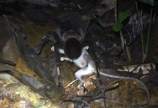 Una tarántula (género Pamphobeteus) que se aprovecha de un zarigüeya de ratón (género Marmosops)