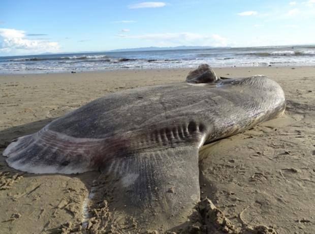 El colosal pez luna en una playa en Santa Barbara, California