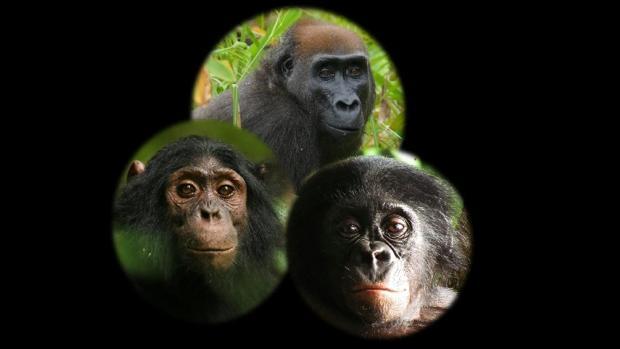 Científicos dejan unas cámaras para grabar simios salvajes y esto es lo que pasa