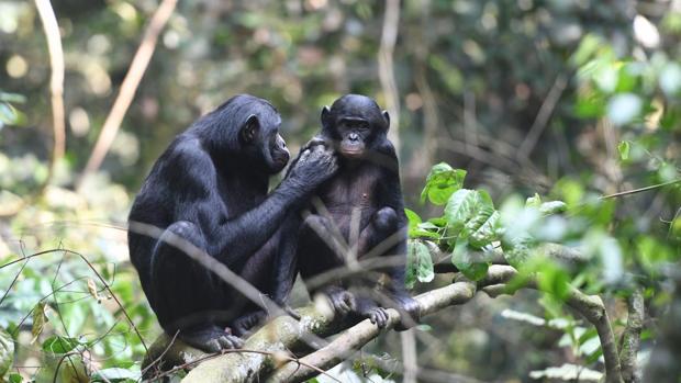 Una madre cuida de una cría de bonobo