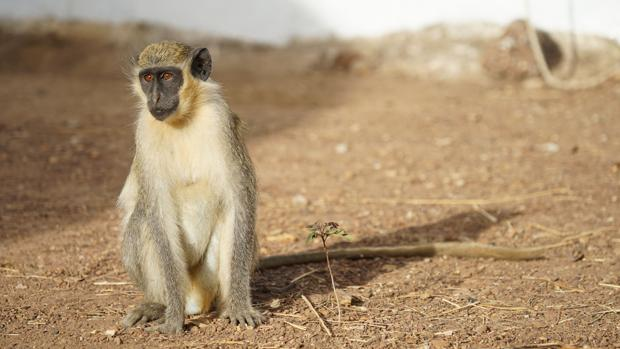 Los monos gritan