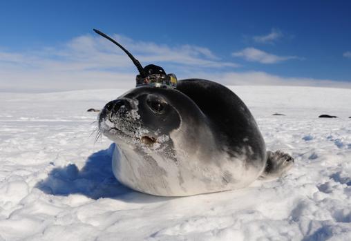 Las focas participaron, sin quererlo, en el estudio, gracias al uso de sensores