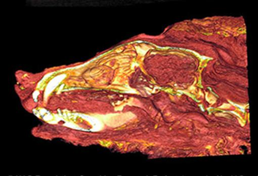 Tomografía del lobo en el que se puede apreciar el cerebro conservado