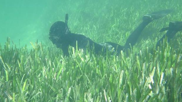 Pradera submarina de Shark Bay, Australia