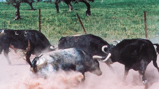 Toros en el campo bravo