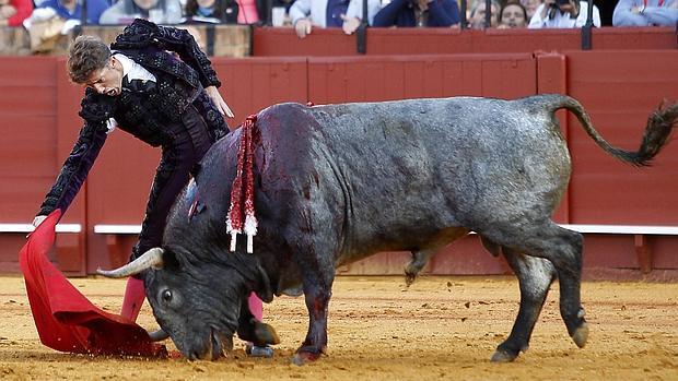 Escribano baja la mano con Cobradiezmos, el toro indultado en Sevilla, número 37, cárdeno, de 562 kilos, que hace surcos en a arena.