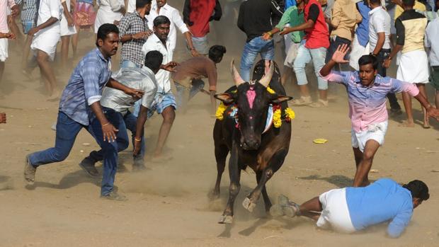 «Jallikattu» en el sur de la India