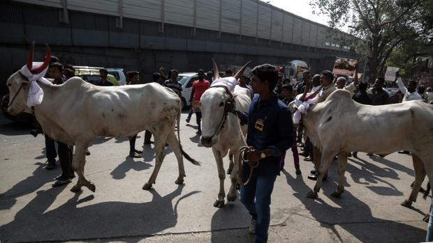 Miles de personas se han manifestado en la India para que se levantase la prohibición del «jallikattu»