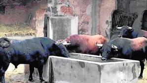 Los toros de Núñez de Tarifa, en los corrales del coso de Palma de Mallorca