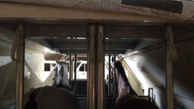 Hito, el caballo de Albert Hermoso, antes de su viaje