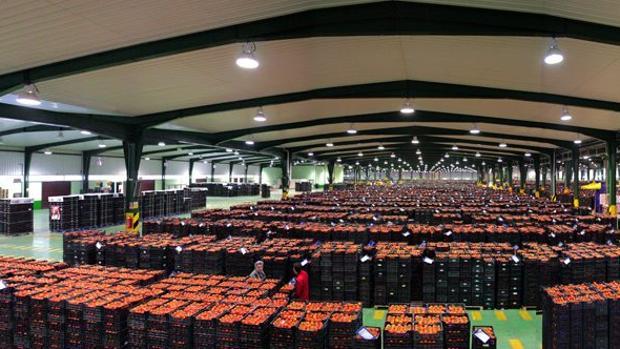 La exportación de tomate en los tres primeros meses del año cayó un 3%, hasta las 403.338 toneladas