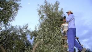 Recogida de aceitunas en Andalucía