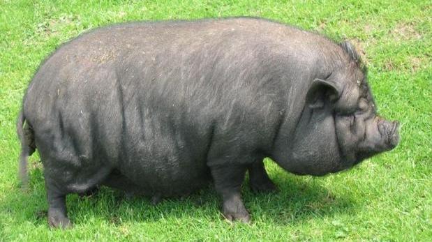 Cada vez es más frecuente que los alemanes tengan cerdos vietnamitas viviendo en Alemania