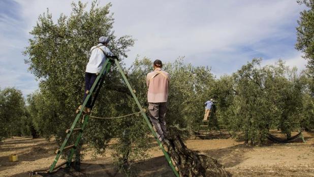 Recogida de la aceituna en una finca de Sevilla
