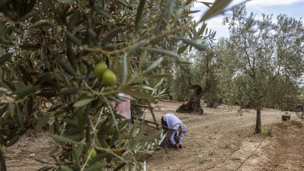 La previsión es que la producción mundial de aceite de oliva supere las 3,1 millones de toneladas