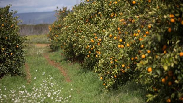 Las naranjas españolas están de saldo