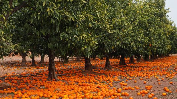 Grupo de frutales alfombrado de mandarinas no recogidas
