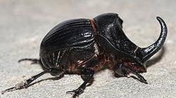 Los escarabajos ayudan en la polinización del chirimoyo