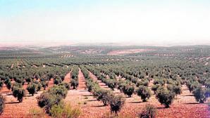 Mar de olivos que se extiende en los alrededores del municipio toledano de Mora