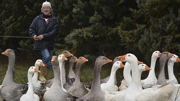 Las ocas amaestradas de Palencia no estarán en la cabalgata de Reyes de Madrid