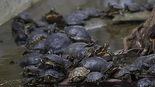 tortugas hacinadas unas encima de otras en el estanque de atocha