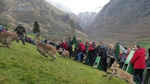 Se venden cabras montesas a 3.000 euros: Madrid exporta seis bóvidos al Pirineo francés