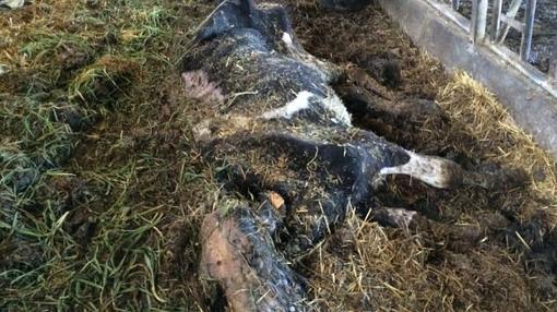Vacas muertas en el interior de la granja