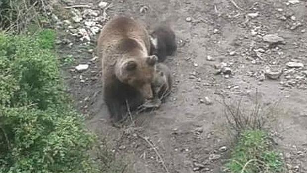Los dos oseznos, con su madre