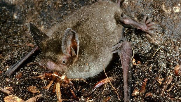 El murciélago es capaz de consumir 3.000 insectos en una sola noche