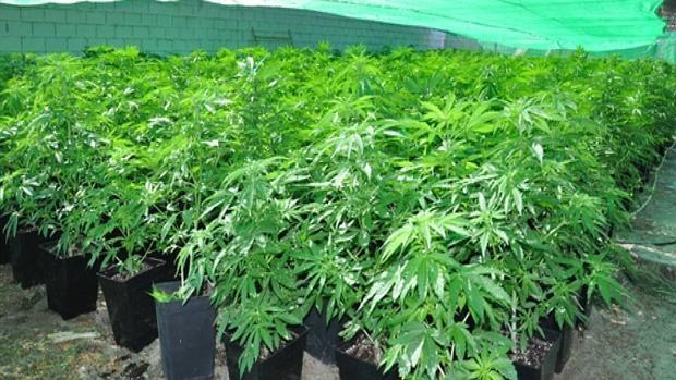 Desmantelan una gran plantaci n de marihuana en medina del campo - Plantaciones de marihuana interior ...