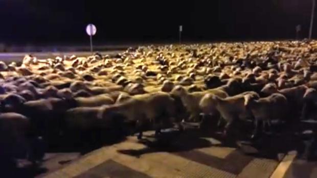 Las ovejas, la pasada noche, campando a sus anchas por una avenida de la capital oscense