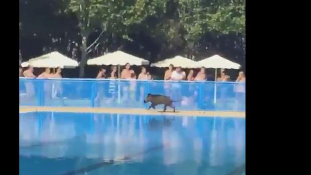 Un jabal se cuela en la piscina de tomelloso ante el for Piscinas tomelloso