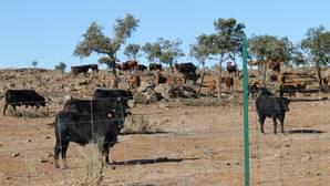 Cabezas de ganado que la Diputación ha puesto a la venta