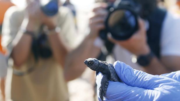 Imagen de una de las crías de tortuga boba