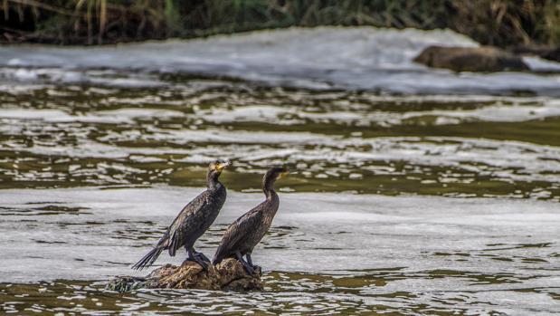 Dos aves en el rçio Tajo, cubierto de espuma, a su paso por Toledo