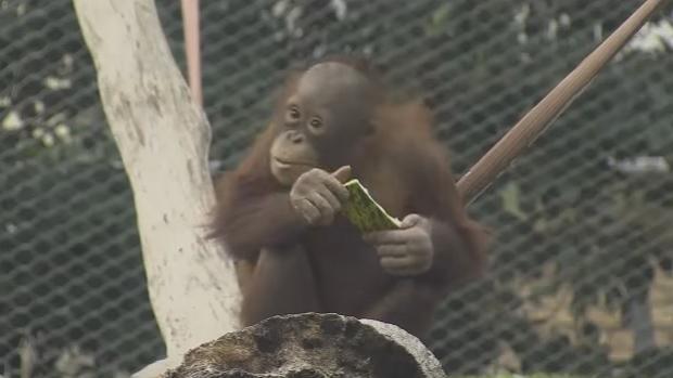 Una de las crías de orangutanes de Borneo que habitan el Zoo