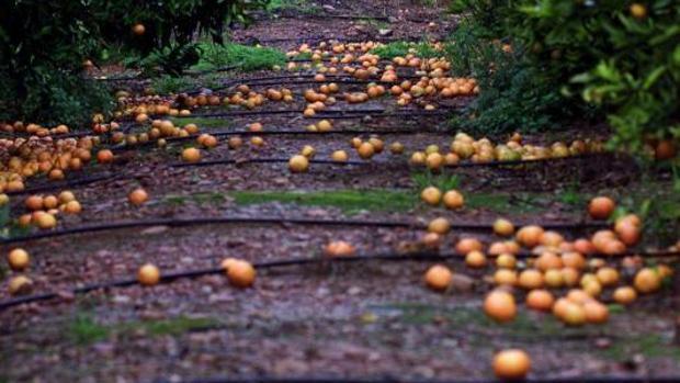 Un campo de naranjos
