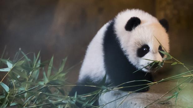La cía de oso panda gigante del Zoo de Madrid, Chulina