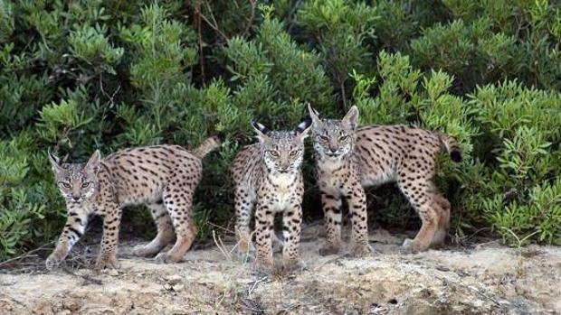 Tres jóvenes ejemplares de lince ibérico, especie en peligro de extinción
