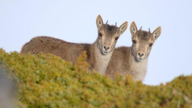 Dos ejemplares de cabra montés