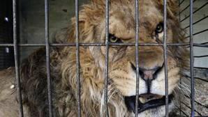 Un león en su jaula del circo Gottani