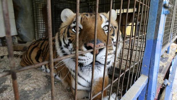 Un tigre del circo instalado en el Ensanche de Vallecas