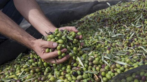 La producción de aceite de oliva para esta campaña en Castilla-La Mancha es de unas 105.000 toneladas