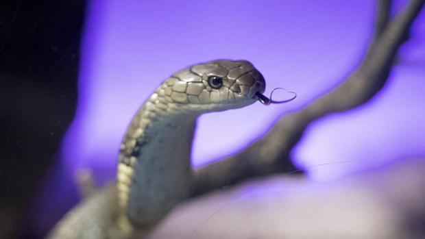 La cobra real, una especie de tenencia ilegal en España, es la serpiente que myor concentración de veneno posee