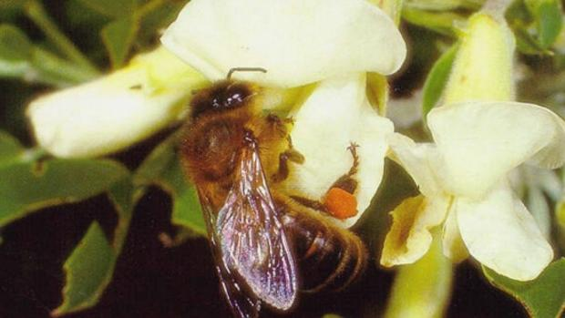 Un nejemplar de abeja negra canaria