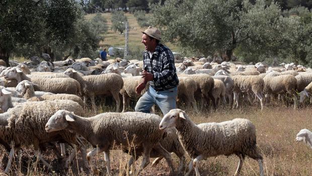 Detenido por hurtar 56 ovejas de explotaciones ganaderas cercanas a la suya