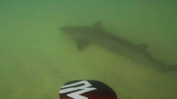 Youtube: el cordial saludo de los tiburones cuando haces «paddle surf» en Canarias