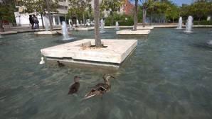 Un grupo de vecinos hace guardias para salvar a una familia de patos